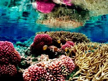 Peligran los corales en Puerto Rico