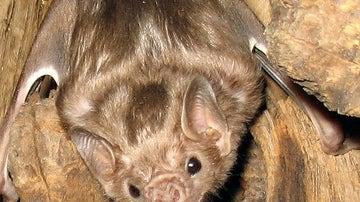Ejemplar de murciélago que se alimenta de sangre