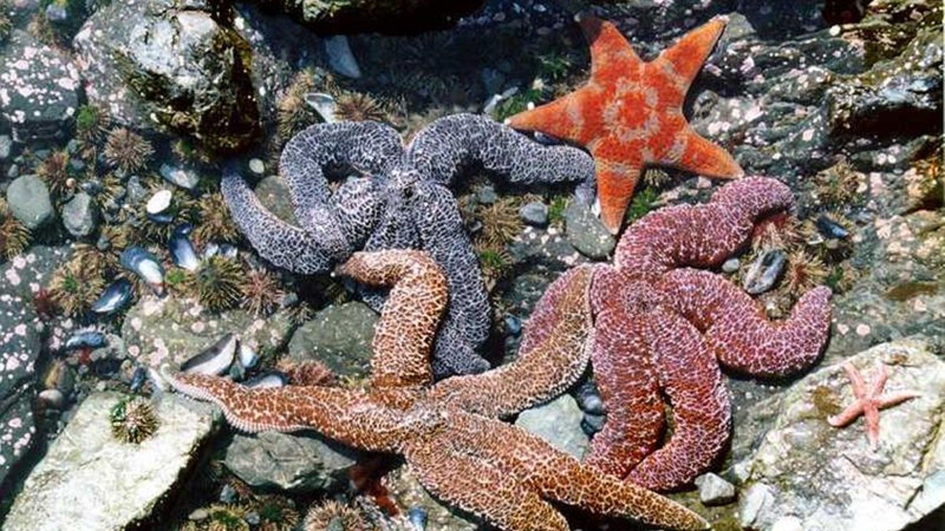Estrellas de mar comunes