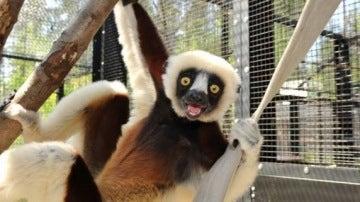 Lémur en el Duke Lemur Centre