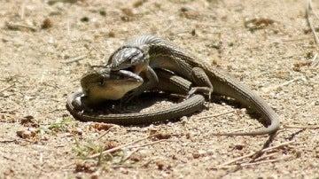Dos lagartijas apareándose