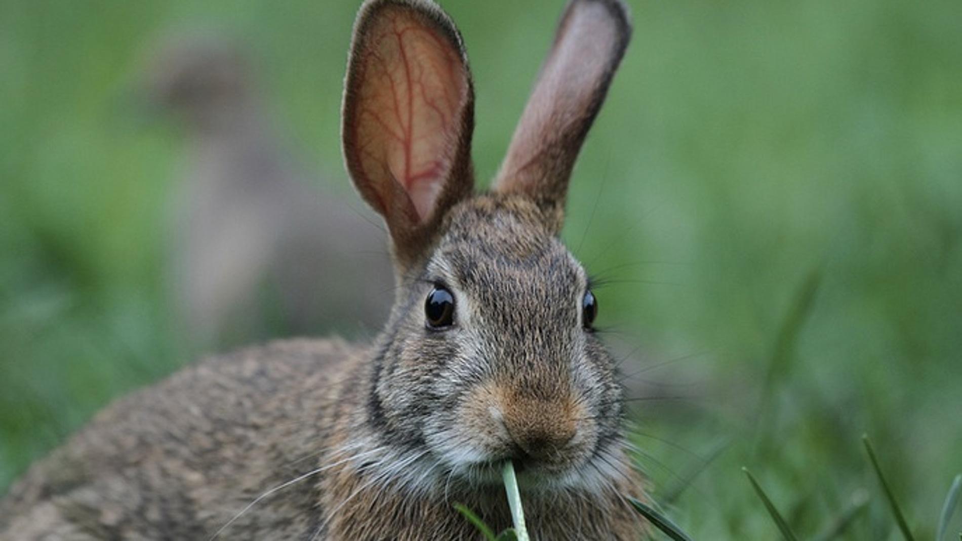 Un ejemplar de conejo silvestre