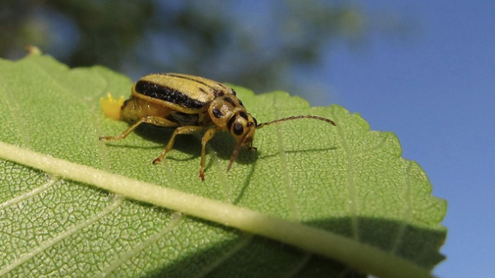 Un ejemplar del escarabajo del olmo