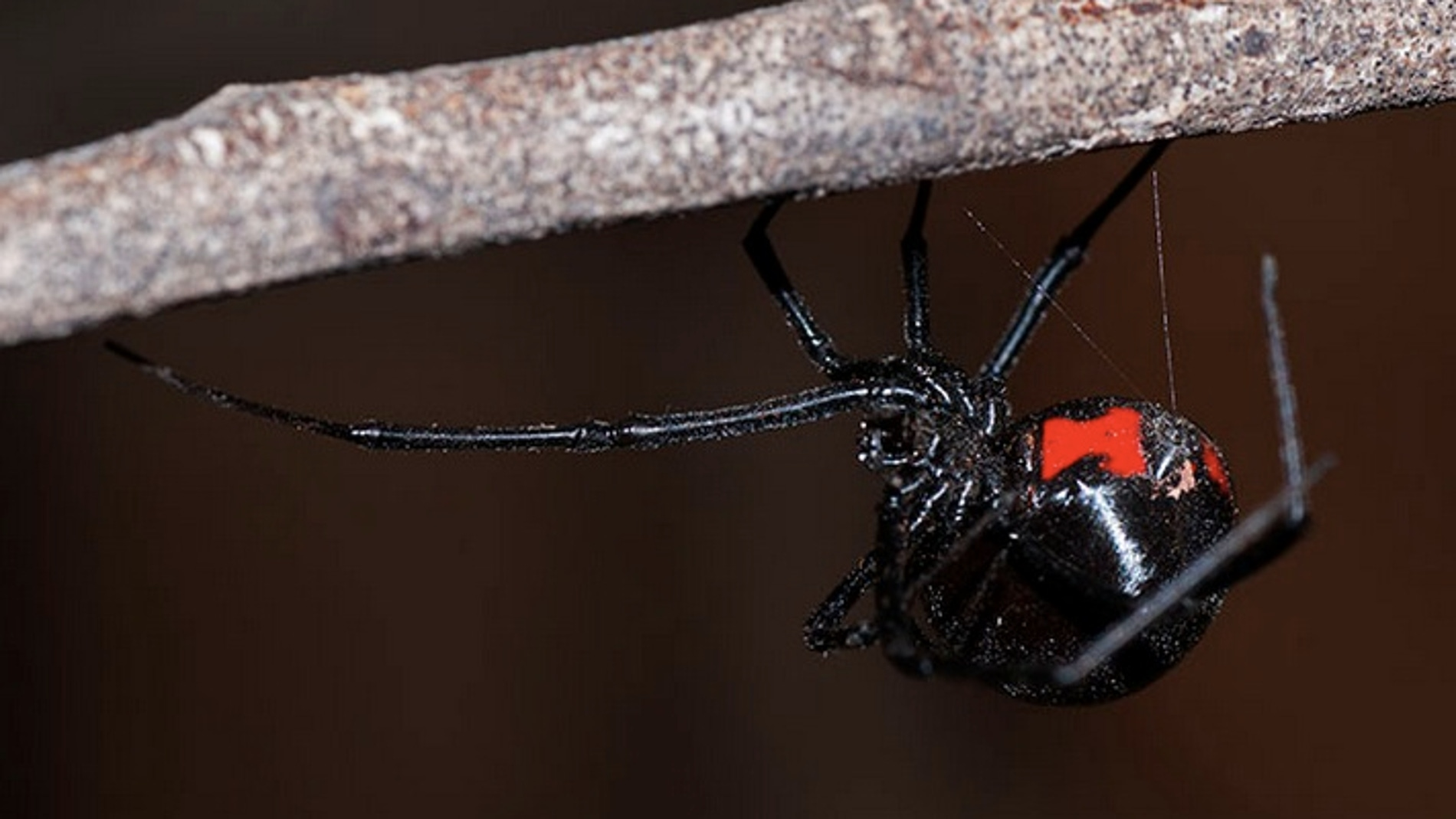 La Viuda Negra es letal con el macho después de aparearse