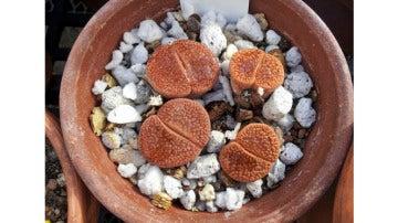 Plantas con forma de piedras
