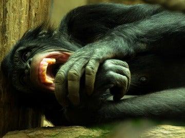 Chimpancé con dientes afilados