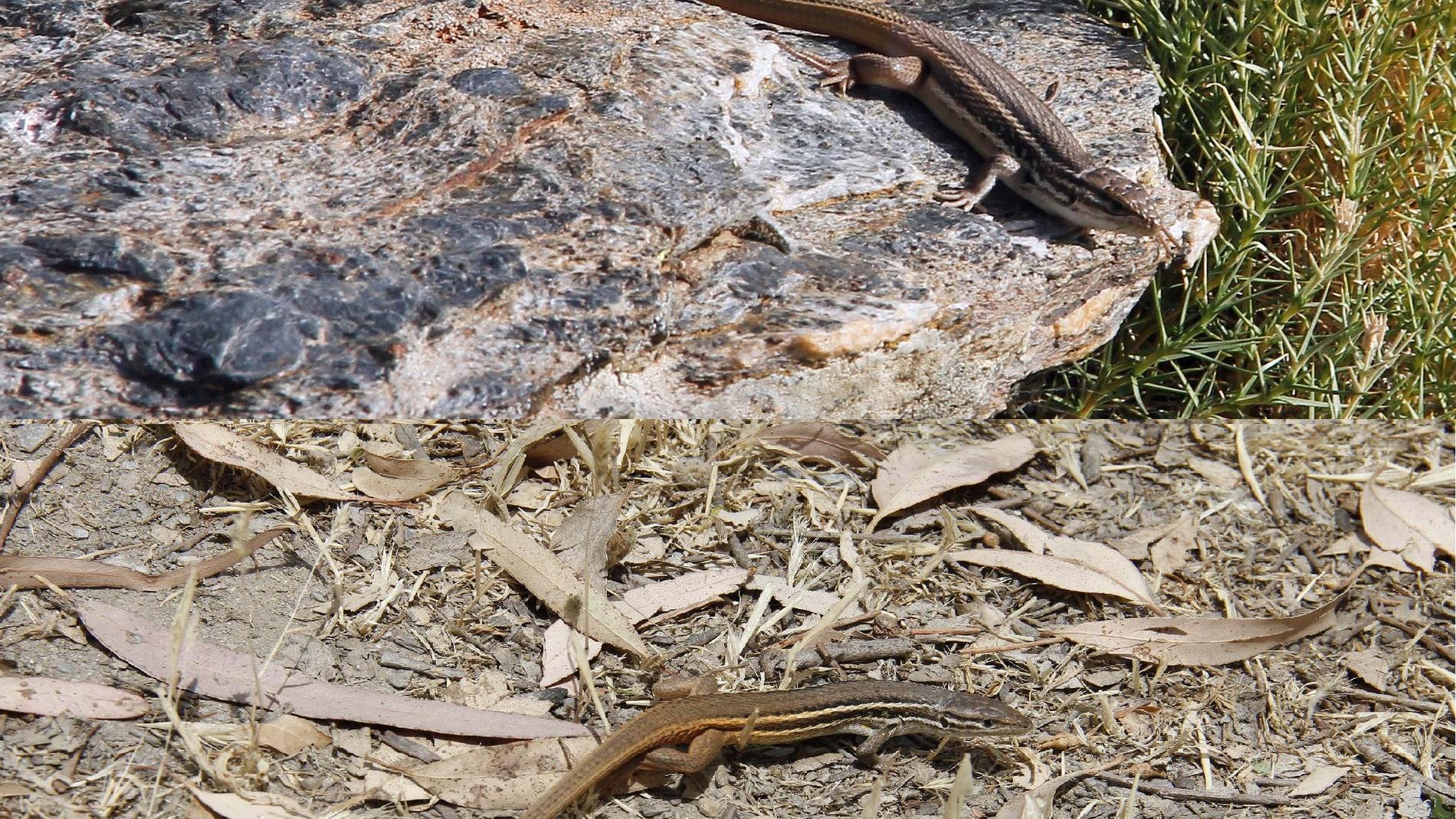 Dos ejemplares de lagartija colilarga de