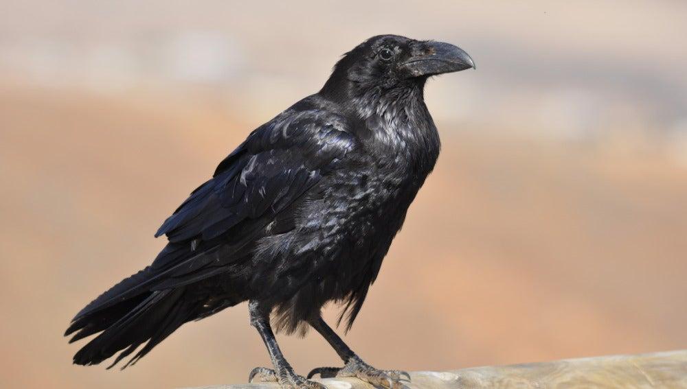 Desmitifican La Mala Fama De Los Cuervos Tecnoxplora