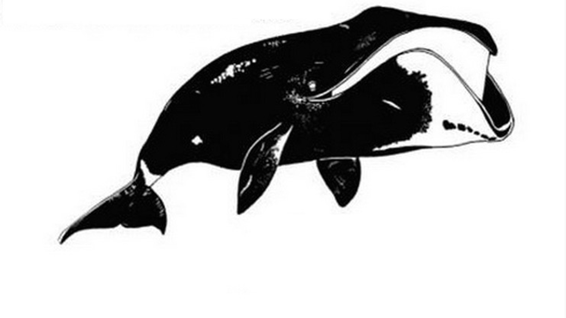 Representación de la ballena boreal en la investigación