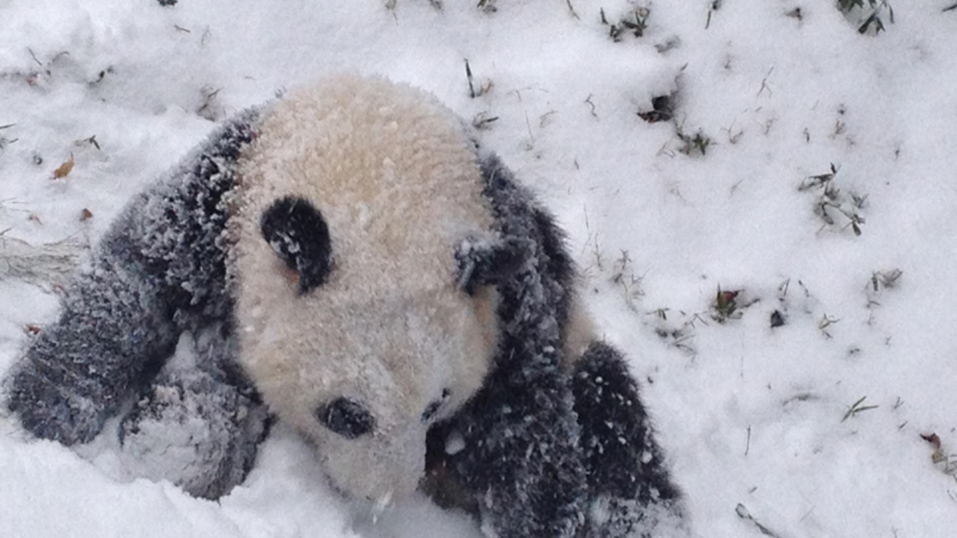 Oso Panda en mitad de la nieve