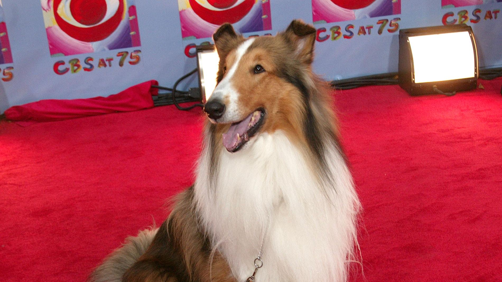 La raza collie se disparó con Lassie