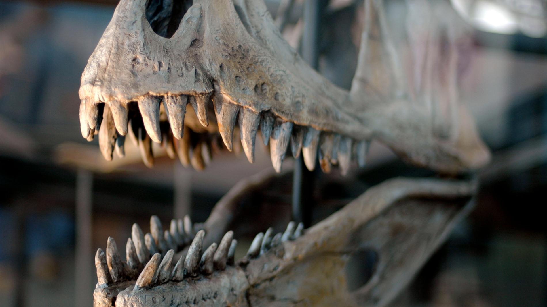 Un esqueleto de un dinosaurio