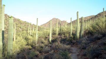 Bosque de Saguaros en Tucson, Arizona