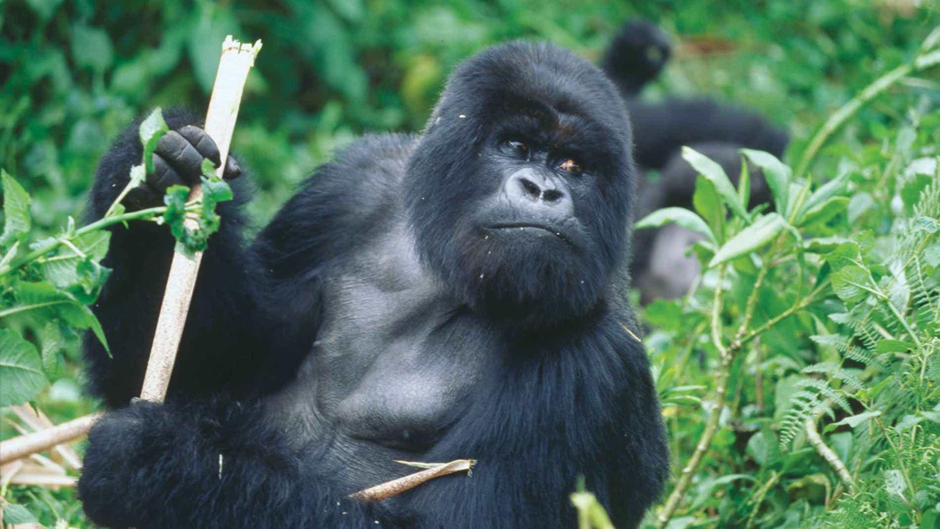 El-origen-de-dos-tipos-de-VIH-esta-en-gorilas-de-Camerun.jpg