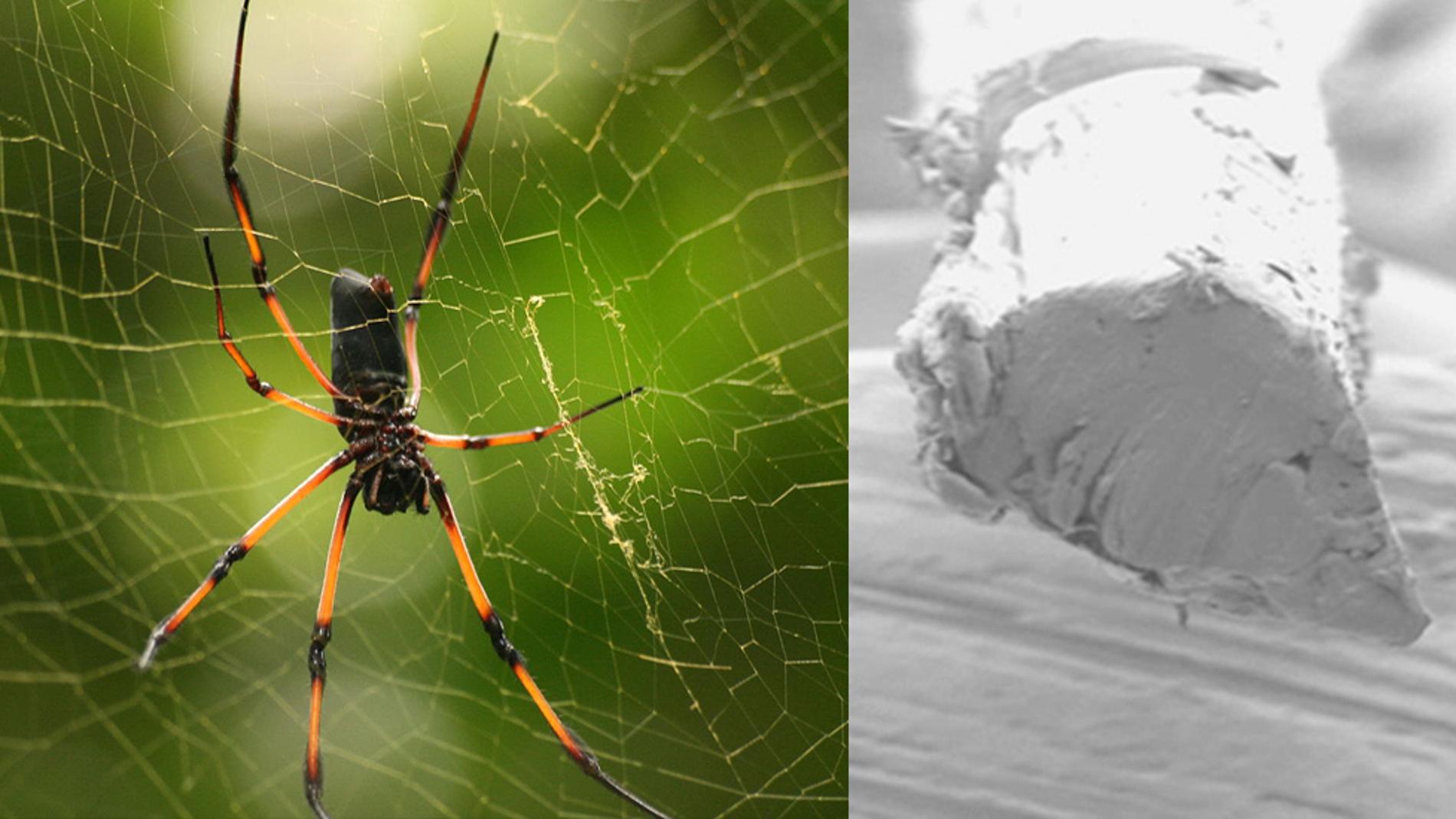 Araña de la especie Nephila inaurata