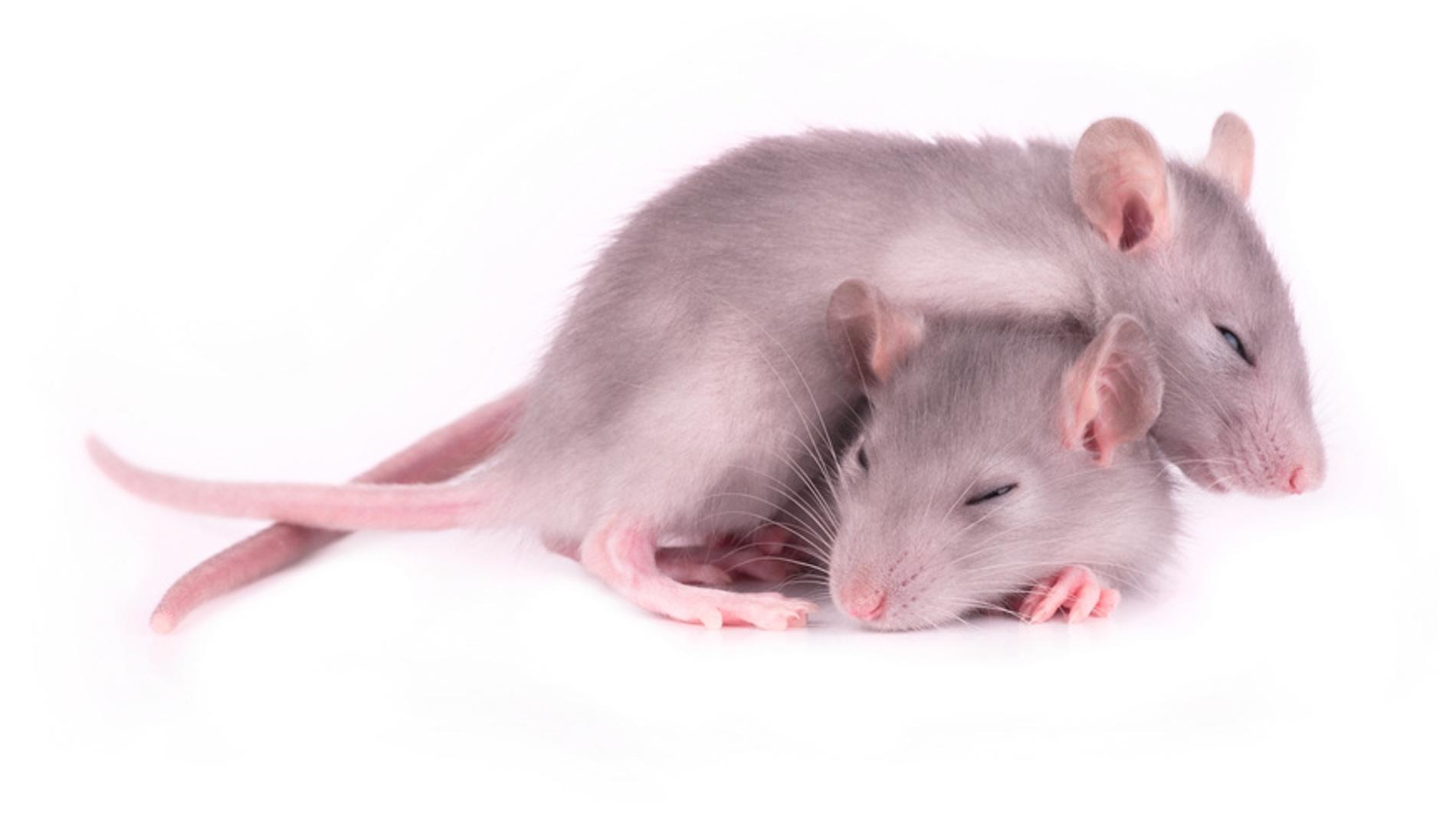 ratones dormidos