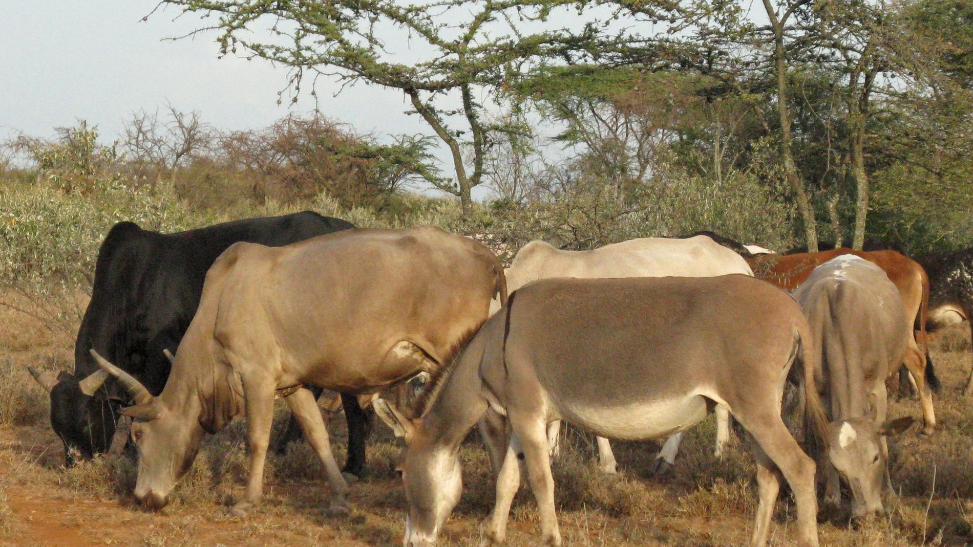 Ganado en Kenia pastando
