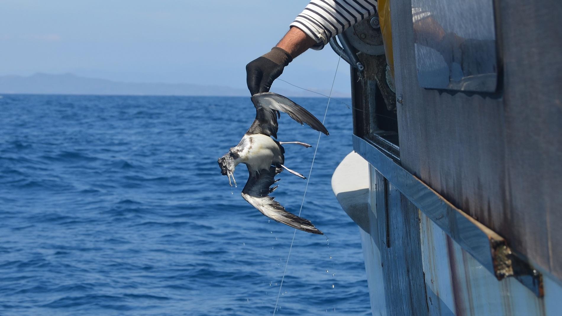 Imagen de un ave capturada por la pesca