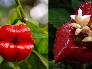 La inflorescencia de Psychotria elata parece unos labios al comienzo de su desarrollo