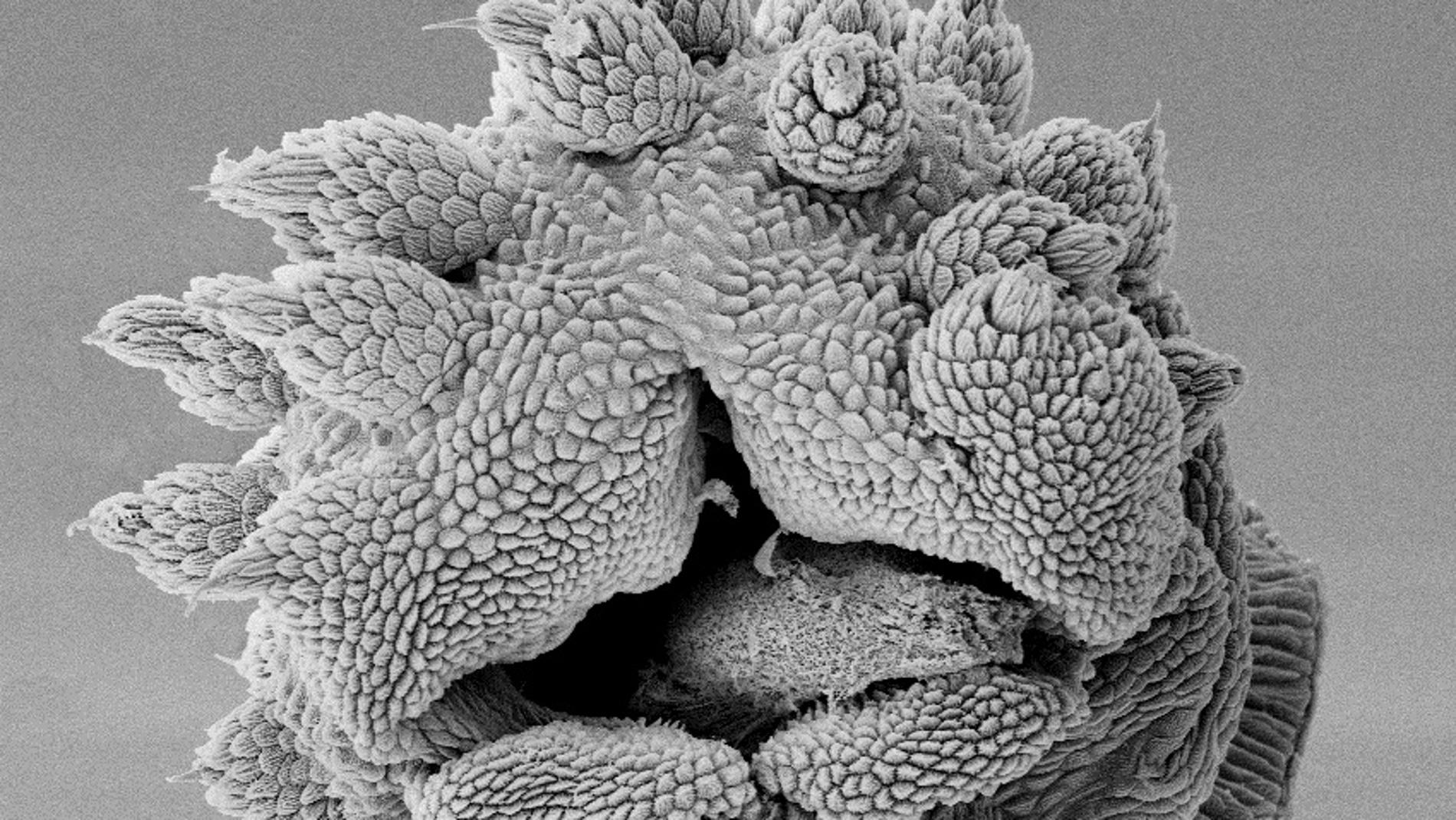 La cabeza del gusano de terciopelo perma