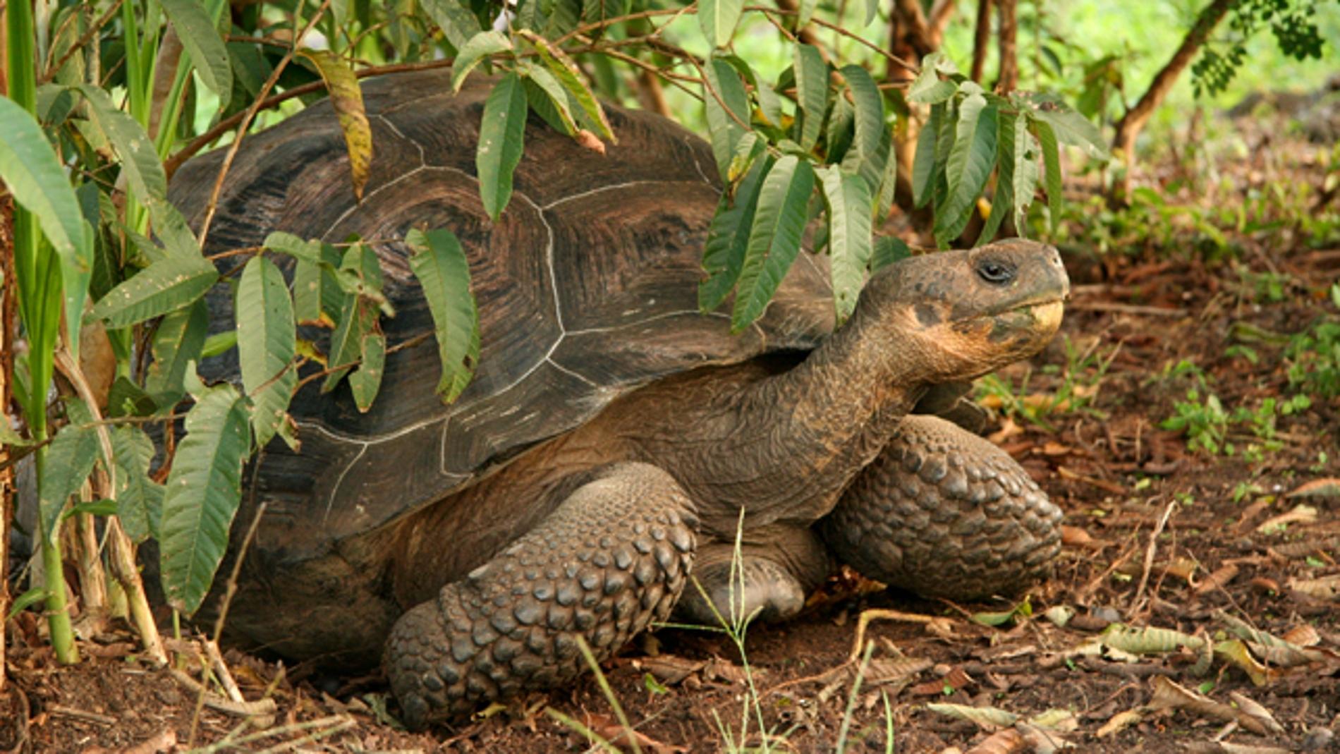 Tortugas gigantes en las Islas Galápago