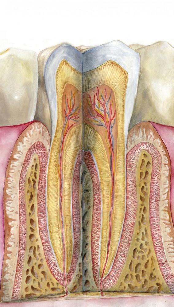 Las diferentes capas del diente