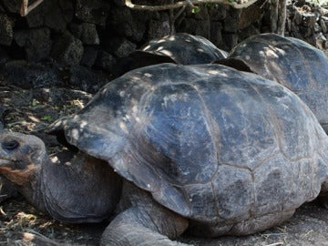 Ejemplares de tortugas gigantes