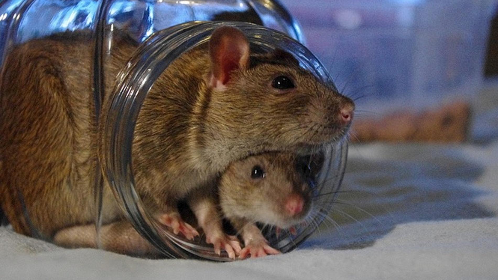 Las ratas ayudan a sus compañeros en apuros