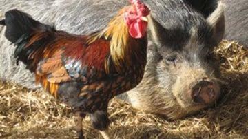 Estudian a cerdos y pollos ante los terremotos