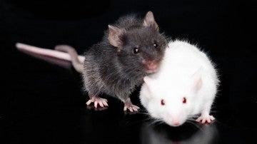 Ratones en la UAB