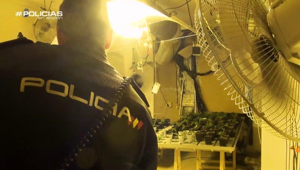 La policía encuentra una plantación de 'maría'