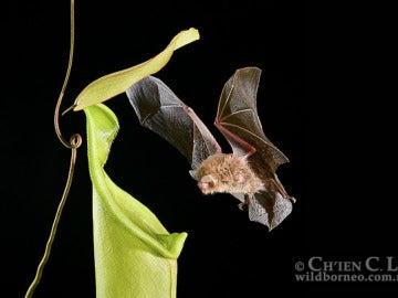 Murciélago entrando en una planta carnívora