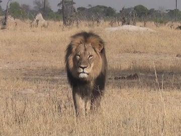 El famoso león, Cecil