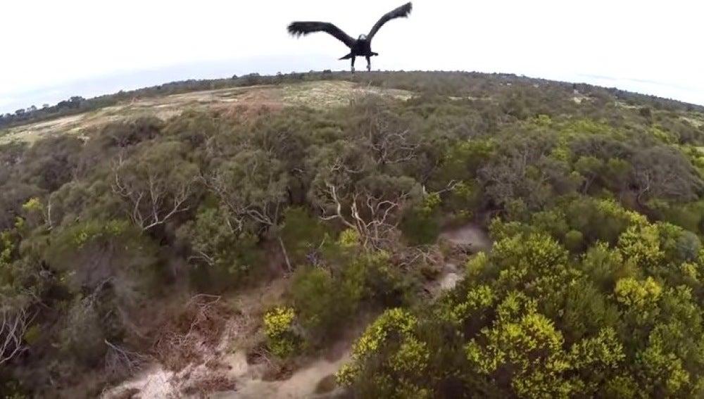 Un águila derriba un dron