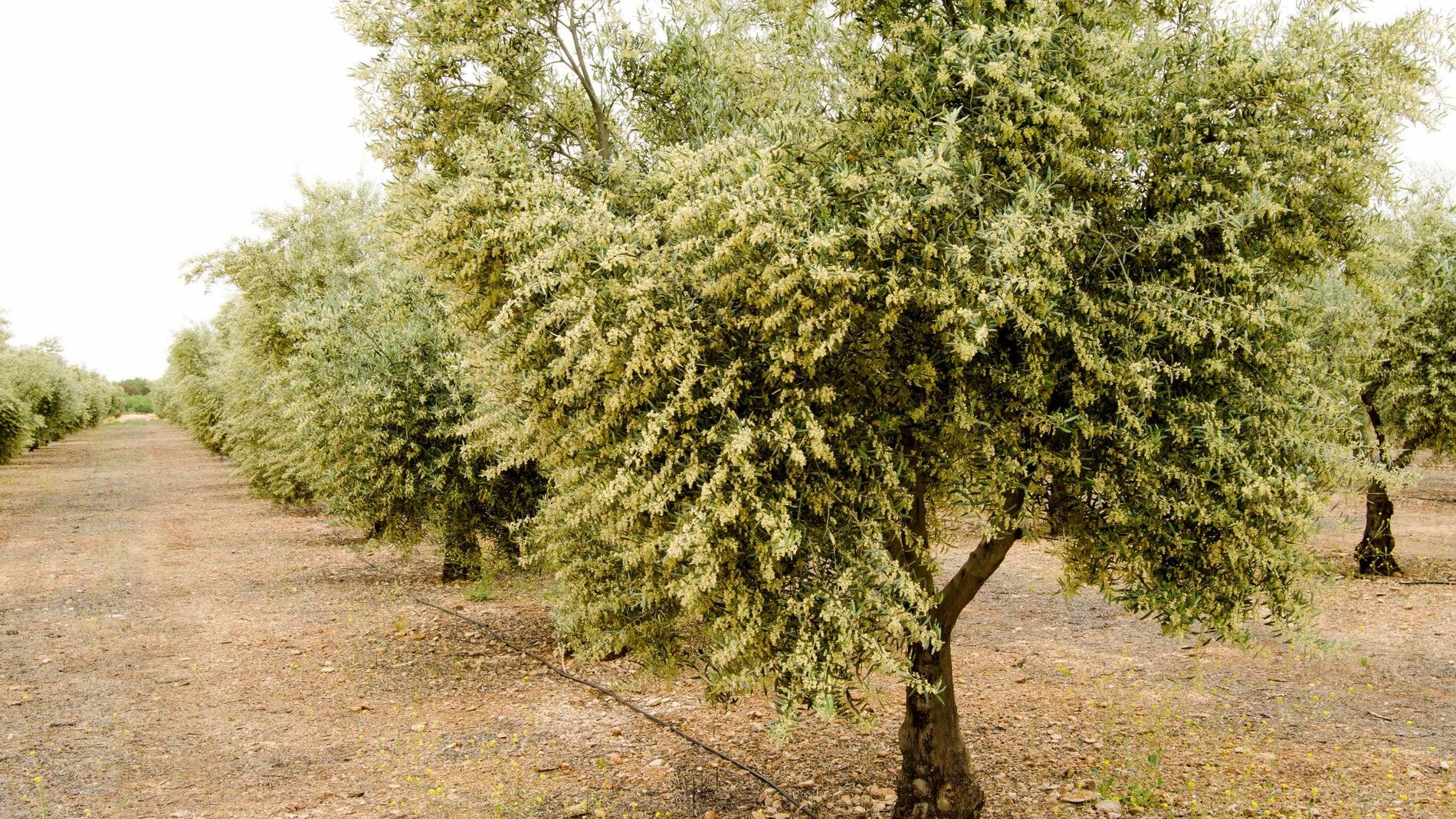 Olivar de la variedad Cornicabra en plen
