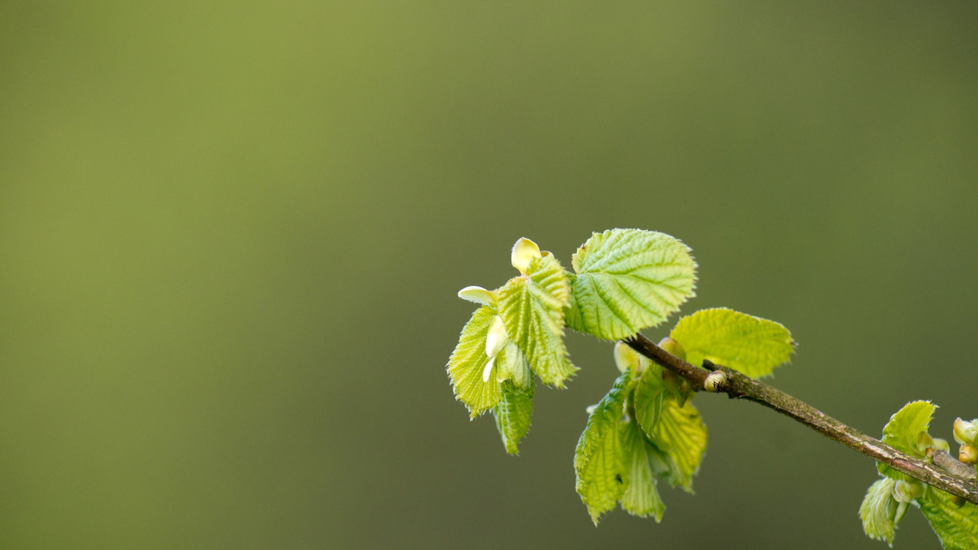 La salida prematura de las hojas de los