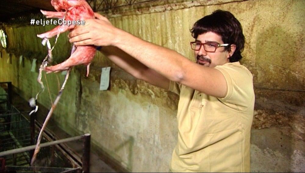 Álvaro asiste a un parto de un lechón en la granja con Javier