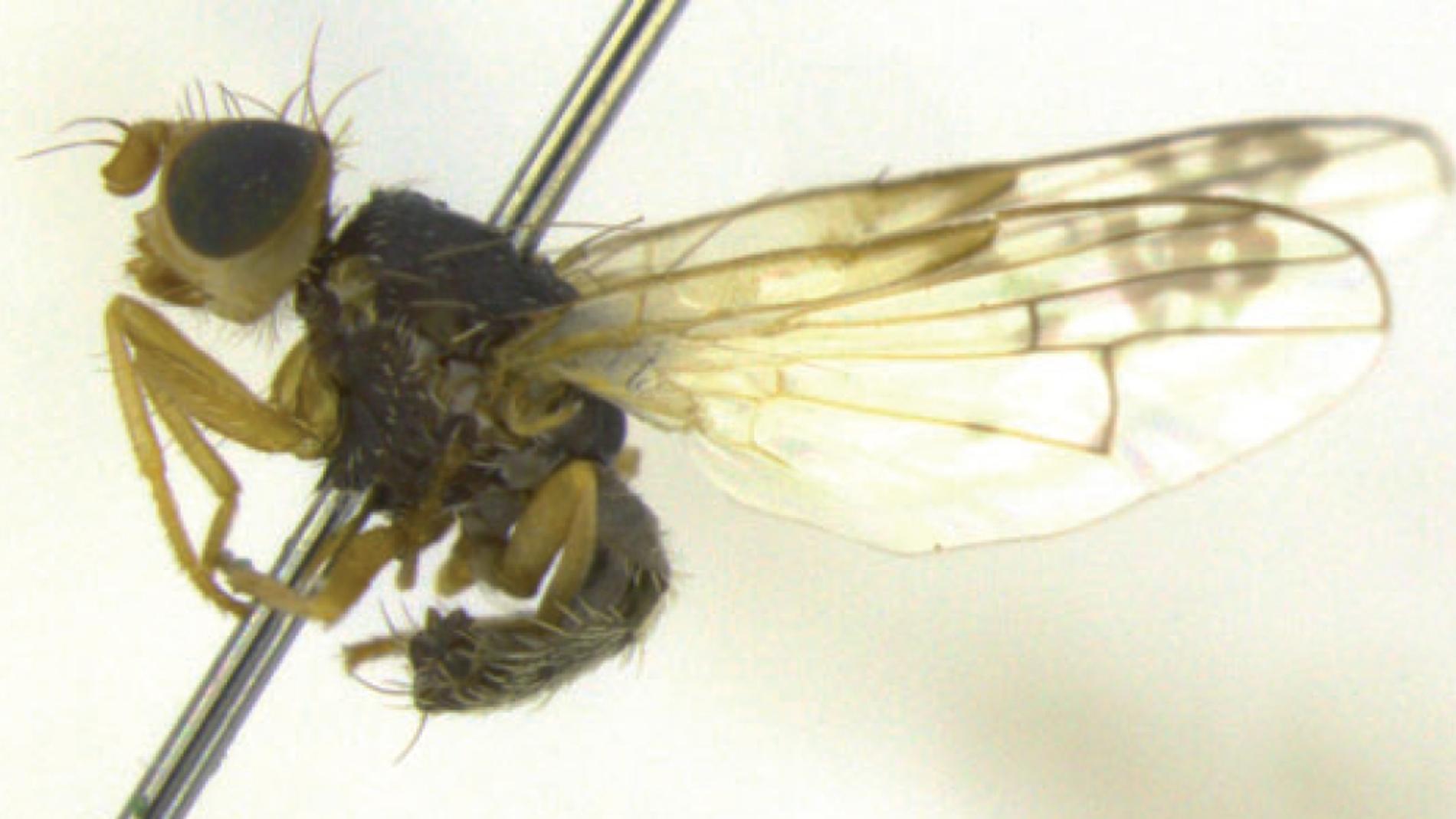 'Acanthiophilus minor', una de las tres
