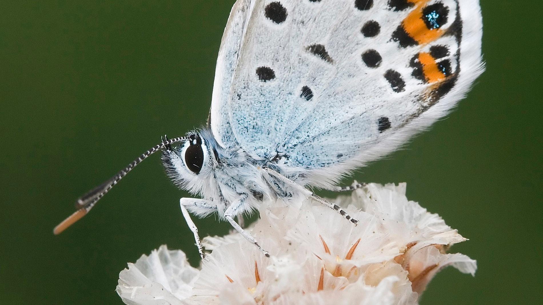 Mariposa Plebejus Argus / Rafael Obregón