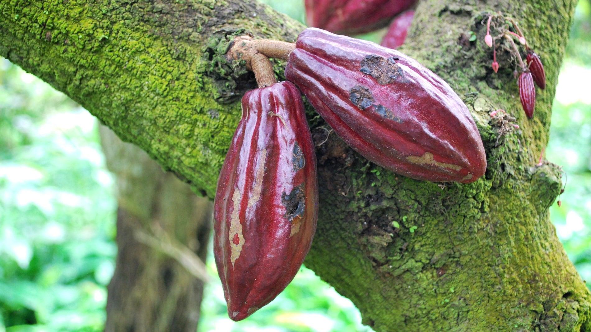 Imagen de un cacaotero