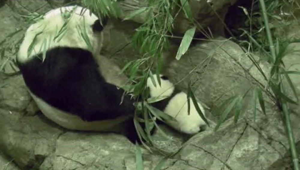 Primeros pasos de un bebé panda
