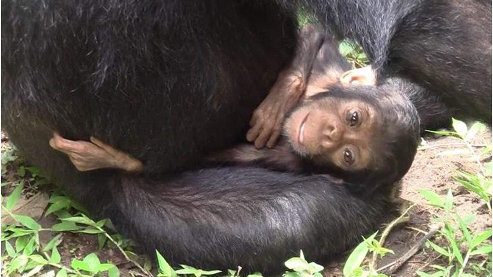 Chimpancés