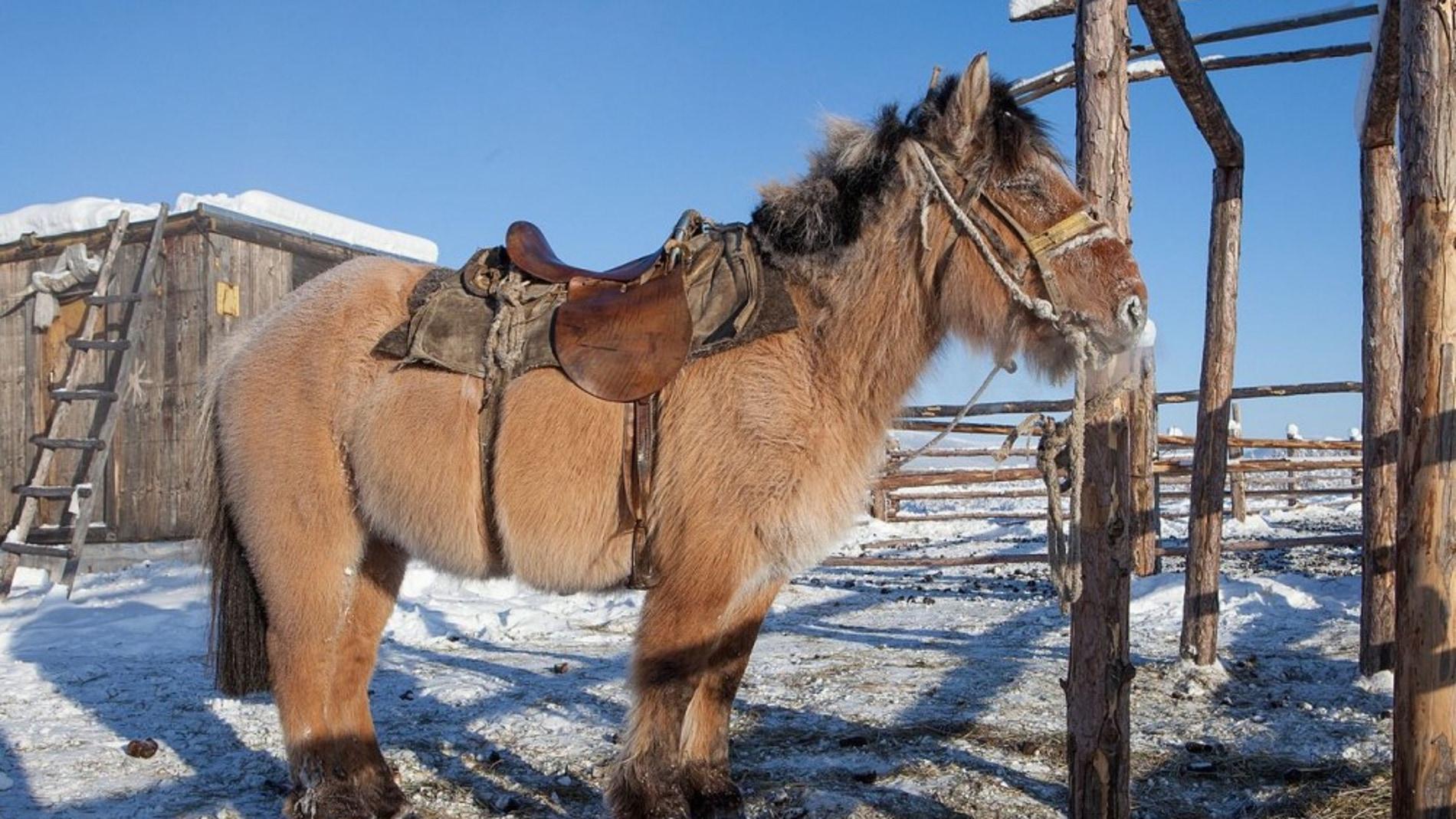 Los caballos yakutos soportan temperatur