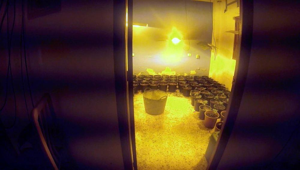Los agentes dan con una plantación de marihuana en un piso
