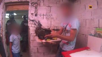 """Los agentes de Comandancias dan con peleas de gallos: """"Creíamos que era una leyenda urbana, pero es real"""""""