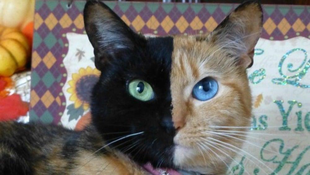 Venus, la gata con dos caras