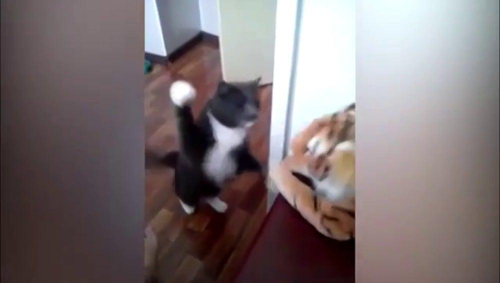 El gato boxeador que arrasa en la red