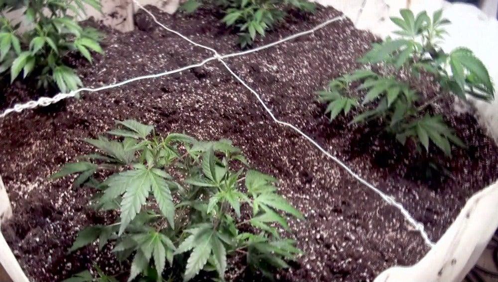 Plantación de marihuana/ Archivo