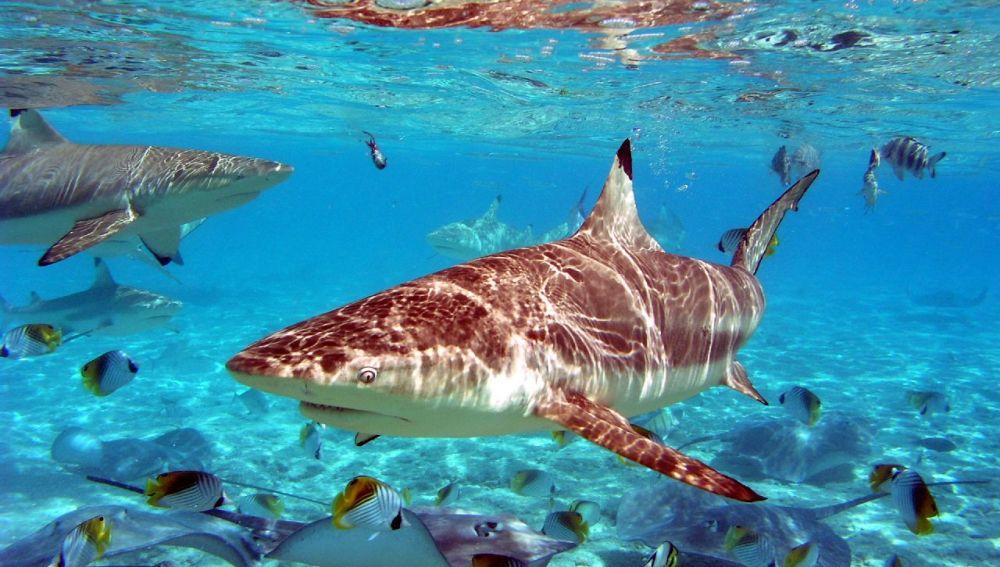 Imagen tiburón punta negra