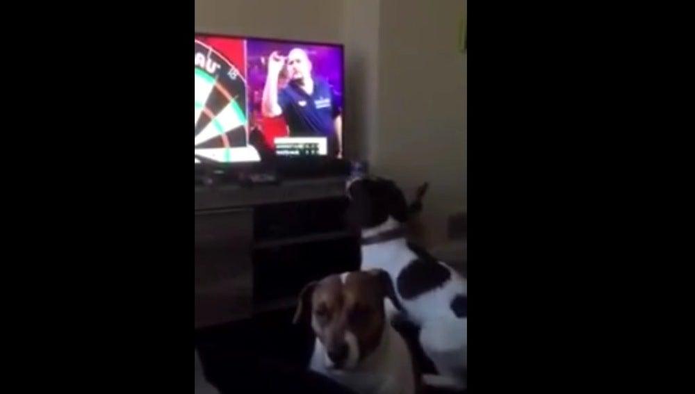 Un perro se vuelve loco persiguiendo dardos lanzados en televisión y se convierte en viral